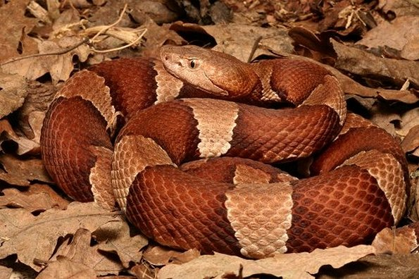 Broad-Banded Copperhead on Leaves