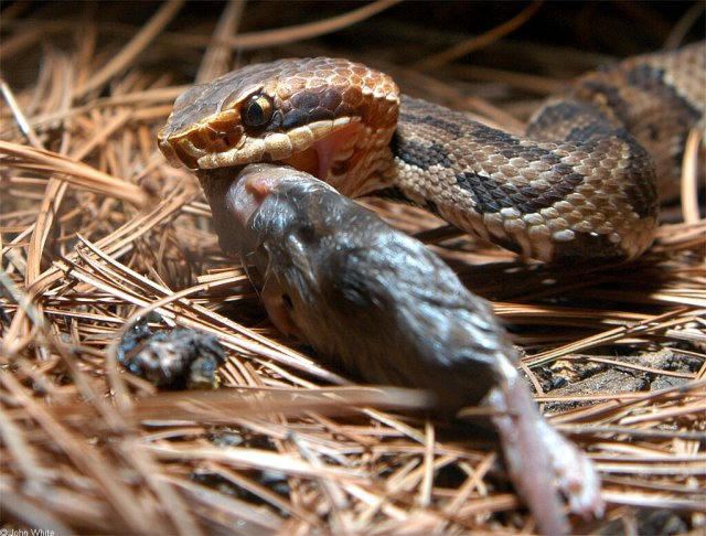 Eastern Cottonmouth Eating