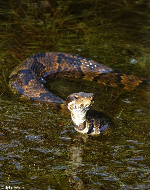 Eastern Cottonmouth in Water