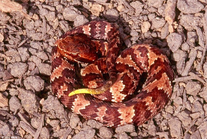 Eastern Cottonmouth Neonate