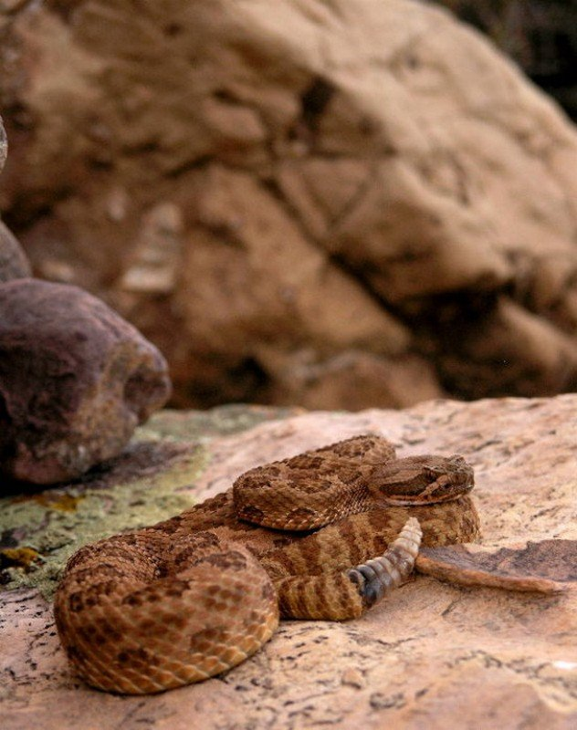Grand Canyon Rattlesnake