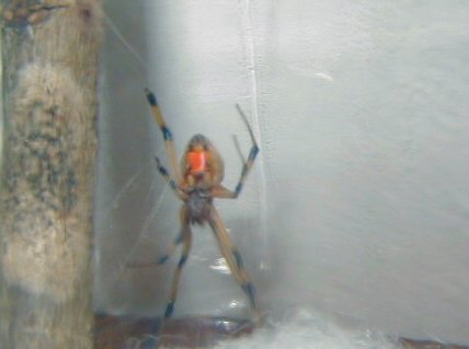 Brown Widow Underneath